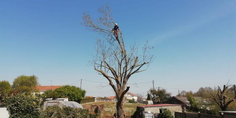 ELAGAGE DU MOULIN TILLIERES - 202104 EDM - Elagage fort - Déchirure arbre en 2 (2)